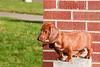Pups_9998_Dchshnd_SH_PAW