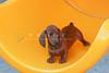 Pups_9794_Dchshnd_SH_PAW