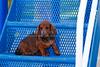 Pups_9723_Dchshnd_SH_PAW