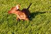 Pups_0314_Dchshnd_SH_PAW