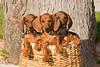 Pups_9675_Dchshnd_SH_PAW
