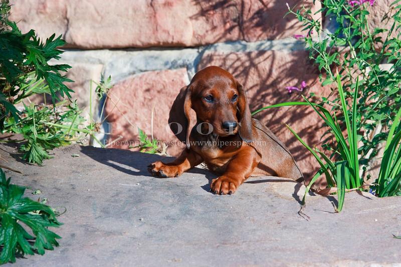 Pups_9921_Dchshnd_SH_PAW