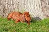Pups_0001_Dchshnd_SH_PAW