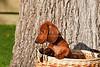 Pups_0024_Dchshnd_SH_PAW