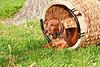Pups_0051_Dchshnd_SH_PAW