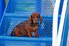 Pups_9725_Dchshnd_SH_PAW