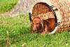 Pups_0054_Dchshnd_SH_PAW