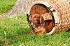 Pups_0052_Dchshnd_SH_PAW