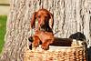 Pups_0018_Dchshnd_SH_PAW