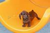 Pups_9792_Dchshnd_SH_PAW