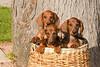 Pups_9705_Dchshnd_SH_PAW