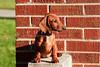 Pups_9972_Dchshnd_SH_PAW