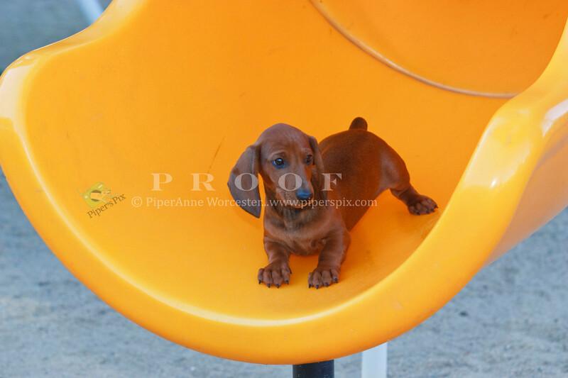 Pups_9790_Dchshnd_SH_PAW
