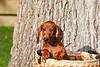 Pups_0022_Dchshnd_SH_PAW