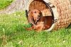 Pups_0050_Dchshnd_SH_PAW