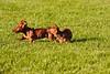 Pups_0299_Dchshnd_SH_PAW
