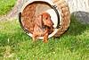 Pups_0029_Dchshnd_SH_PAW