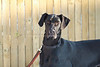 Purebred Great Dane