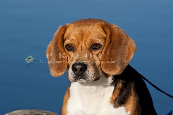 Beagle EA