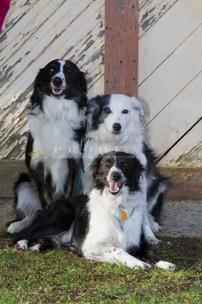 Purebred  Border Collie