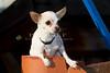 Purebred  Chihuahua