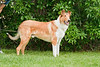 Purebred  Smooth Collie