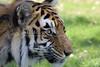 Tiger_PAW_3792