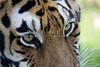 Tiger_PAW_8192