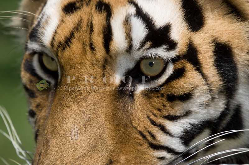 Tiger_PAW_6688