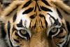 Tiger_PAW__2096