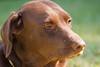Purebred Chocolat Labrador Retriever