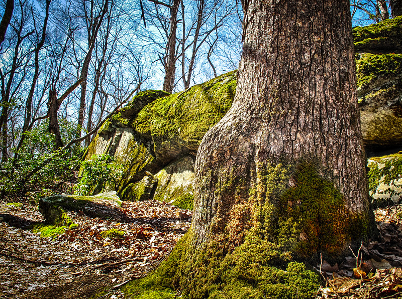 Moss covered tree and boulders - Hartman Park - Lyme, CT