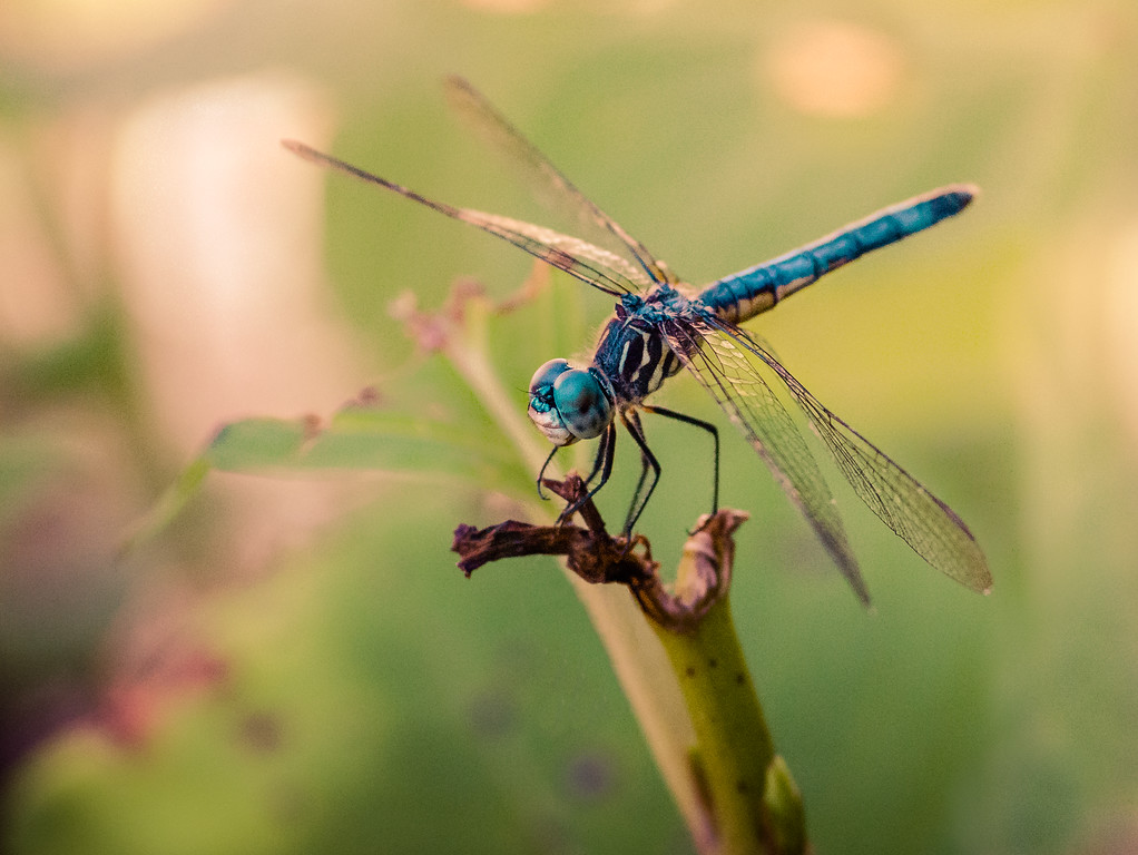 Macro of a Blue Dragonfly