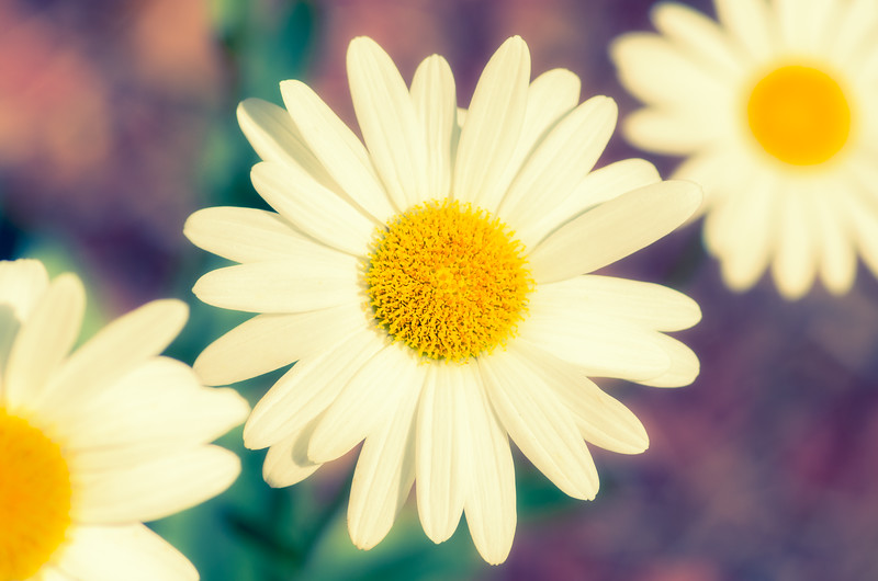 Daisies with Pastel Background