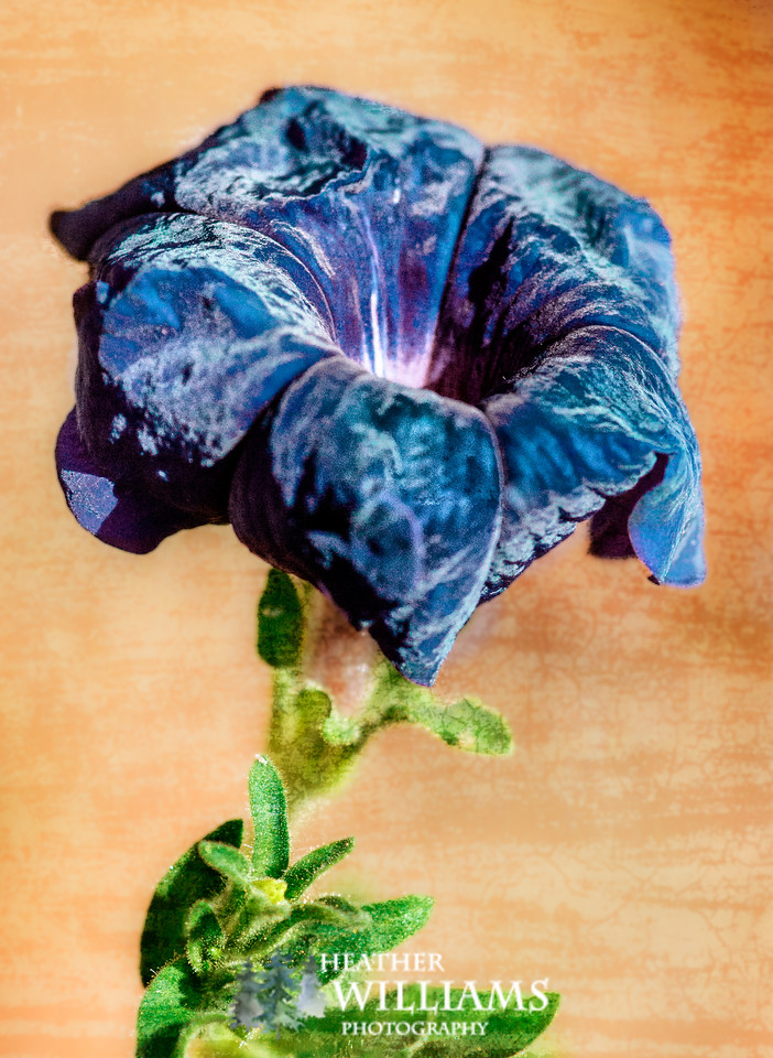 Blue Velvety Flower