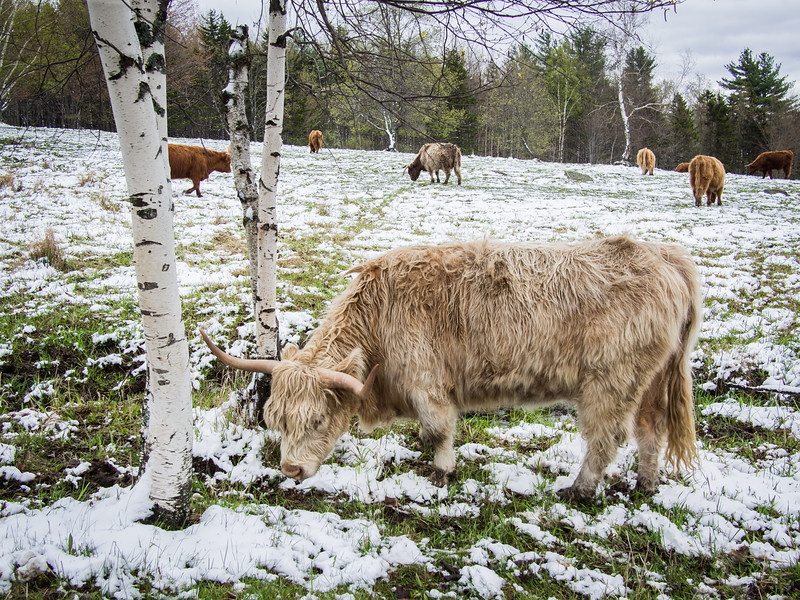 Highland Cattle near the Von Trapp Lodge - Stowe, VT