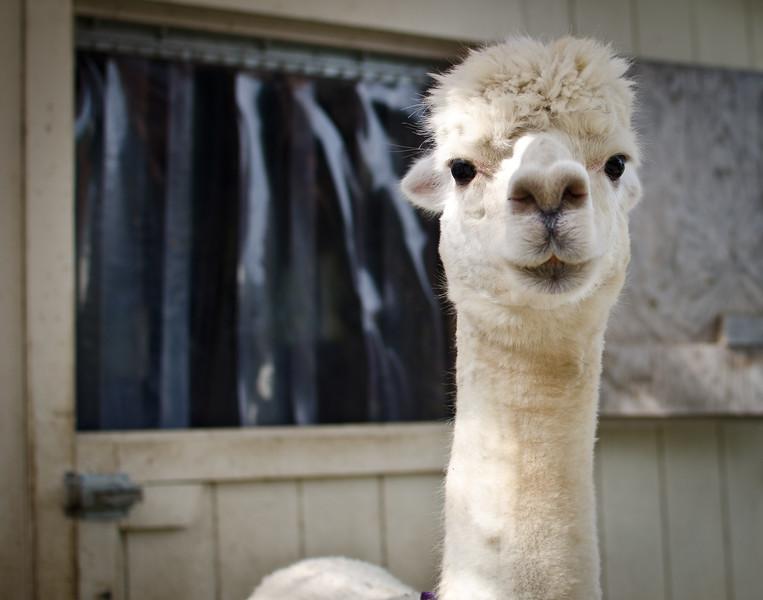 Six Paca Alpaca Farm, Bozrah, CT(27)