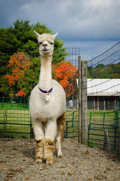 Six Paca Alpaca Farm, Bozrah, CT (15)