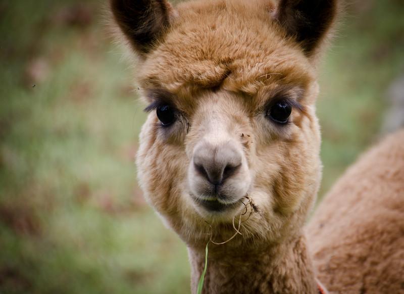 Six Paca Alpaca Farm, Bozrah, CT (6)