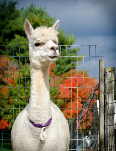 Six Paca Alpaca Farm, Bozrah, CT (14)