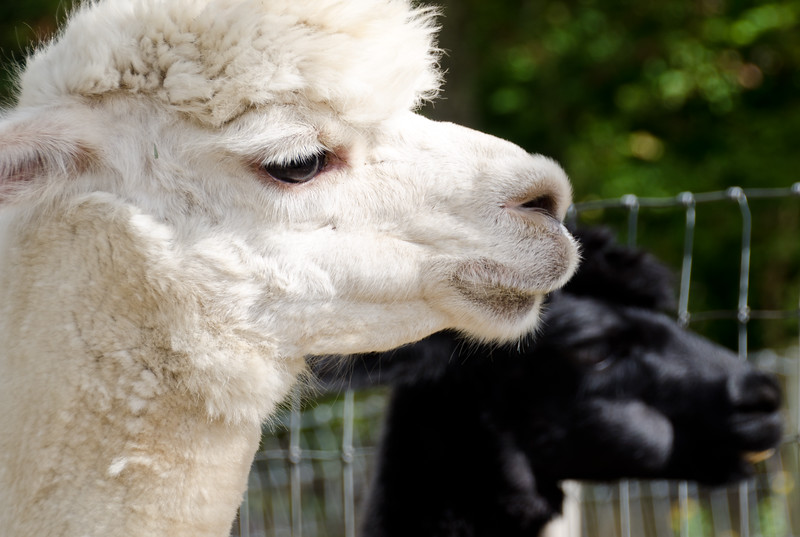 Six Paca Alpaca Farm, Bozrah, CT (13)