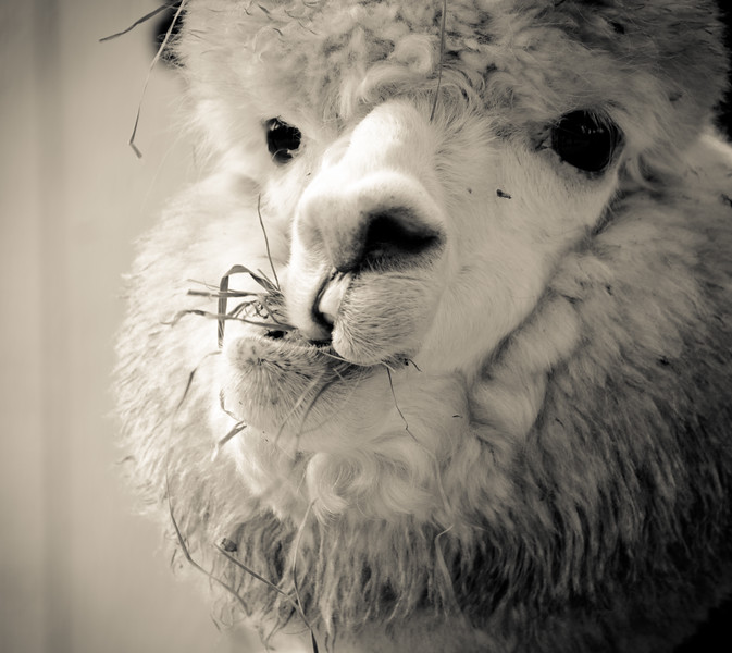 Six Paca Alpaca Farm, Bozrah, CT (24)