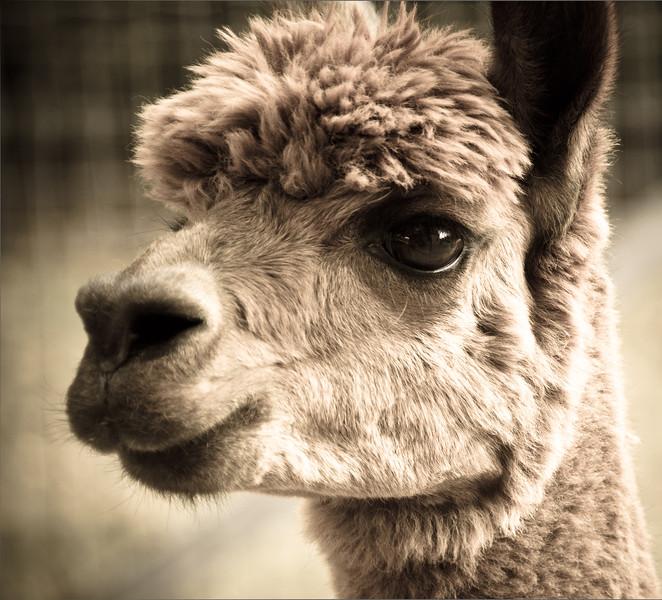 Six Paca Alpaca Farm, Bozrah, CT (21)