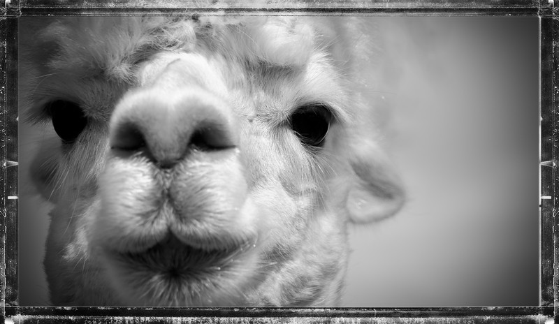 Six Paca Alpaca Farm, Bozrah, CT (4)