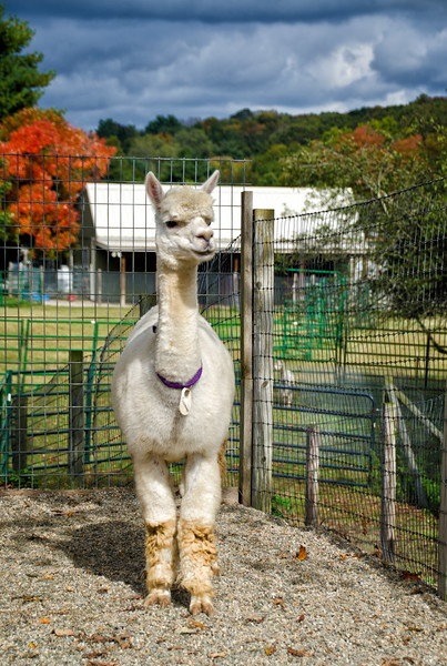 Six Paca Alpaca Farm, Bozrah, CT (1)