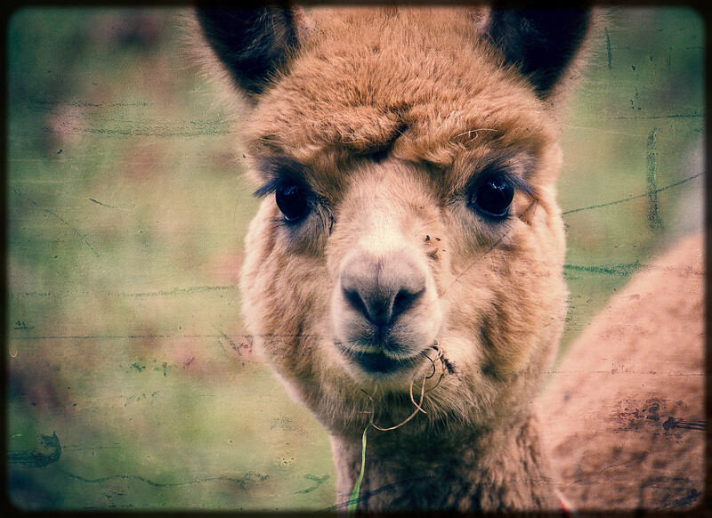 Six Paca Alpaca Farm, Bozrah, CT (8)