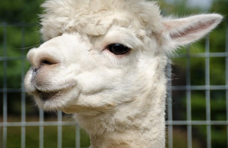 Six Paca Alpaca Farm, Bozrah, CT(28)
