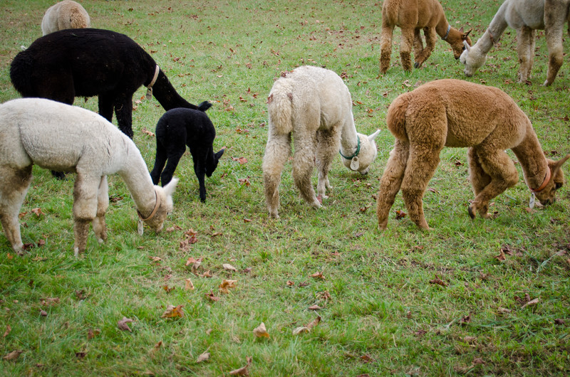 Six Paca Alpaca Farm, Bozrah, CT (26)