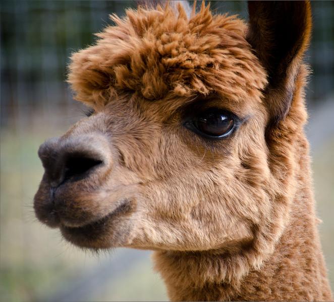 Six Paca Alpaca Farm, Bozrah, CT (20)