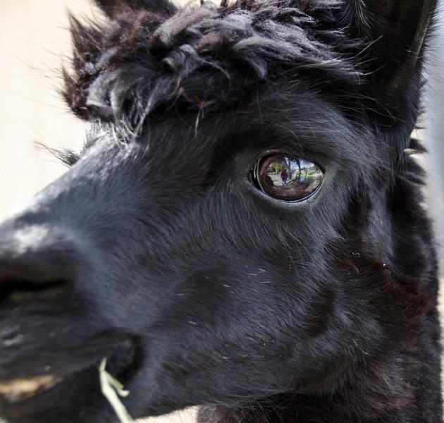 Six Paca Alpaca Farm, Bozrah, CT (30)
